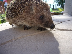 An impudent hedgehog