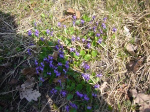 photo of violets