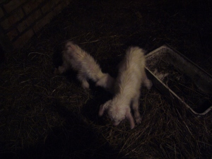 newborn goats photos