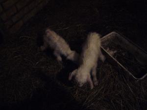 newborn goats photos